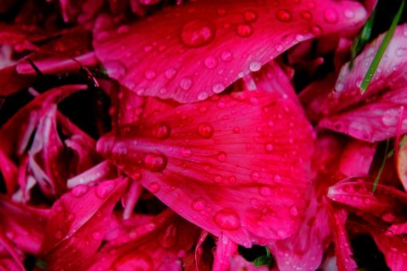 Rózsa szirmok a fűben